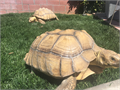Sulcatas tortoises I have two14 yrs old About 50lbs each 16-18 inches Asking 360 each rehomin