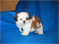 Beautiful TOY size shih tzu puppy FEMALE  really small short body and legsflat face and huge roun