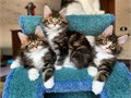 We got available and and ready to go very cute and amazing kittens Our kittens range from 4 weeks