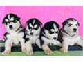 Hello my puppies are AKC registered updated on all shots potty trained socialized with people and ot
