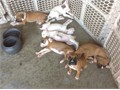 AKC Boxer puppies 8 weeks old tails dockeddeclaweddewormedand first shotsl have 4 females 3 male