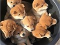 Cute and friendly these Corgi puppies will melt your heart They are 11 weeks old tan  white and