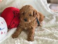 Female 3400 and male 3200 Mother poodle father Goldendoodle F1B  shots and deworming up to date W