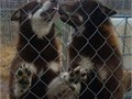 2 Alaskan Malamute young adults RedwhiteLooking for great homesText 423-946-0945 for more inf