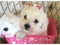 We have Darling Morkie pups available for adoption  Mom is  morkie 7 lbs and Dad is and is 7 lbs ma