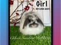 I have available Super cute purebred Holland Lop baby bunnies These cuties are 8 weeks old and rea