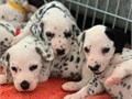 Beautiful And Adorable Dalmatian Puppies For A Small Re-homing ready to move int