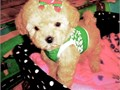 T CUPS AND TOYS MALTIPOOS PUPPIES For Sale In California We Have Beautiful Maltipoos Puppies Availa