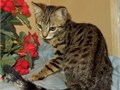 Sweet loving very pretty and fun Brown Spotted Bengal male 4 12 mos-400 TICA regis with proof o