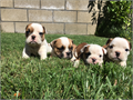 AKC Mini English Bulldogs available Father of this litter is an all white show quality male with ro