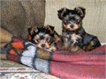 5 Pure Breed 100 Parti Color Toy Yorkies puppies adorable 2 females and 2 males with registration
