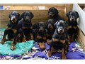 Doberman Pinscher puppiesAll puppies are AKC registered Puppies are raised in