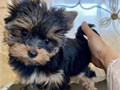 Available puppies 12 weeks and 5 days old today purebred and very well-tempered Yorkie that easily
