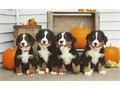 Purebred Bernese Mountain DogsParents on Site and have great temperamentsPups will be UP-TO-DATE o