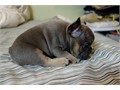 Akc  3 months old females French bulldog sabble She is Tan BlueFawnlast one