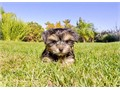 Mimi is a Darling female Morkie She is 9 weeks old and comes with a 1 year Health GuaranteeThis ba