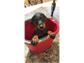 Doberman Pinscher puppy available 75 EuroFather is 99 lbs a