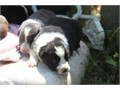 reg ABCA border collie puppies parents on site born 41616 35000 662-983-4423