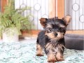 Teacup Yorkie puppies ready for their new homesText 551 888 -3483 Email  kimdarrel0gmailco