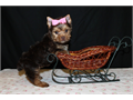 Keiki comes from a litter of 3 gorgeous fur babies 1 traditional yorkie male and 2 chocolates she i