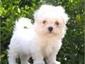 Maltese Friendly and playful Small   puppies These puppies are beautiful