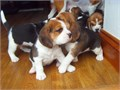 these puppies are very ok with kids and other home pets am given them out because i dont have time