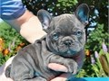 Akc French Bulldog PupsMFs10wks Shots UTD with papersFor instant feedbackTextCall 916 694-5