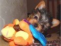 11weeks old AKC Registered teacup yorkies available  all up to date on shots and comes with complet