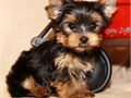 They are 12 weeks old-They have very good temperamentwith kids and other household pets-They