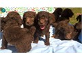 Standard Poodle Puppies mf available males are 800 and females are 900 Chocolate  Chocolatewh