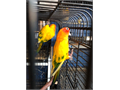 Breeding pair of sun conuresreader to breed with cage and nestbox   60000 dlls firm They  are