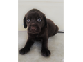 Chocolate Lab puppies available to new home 6 boys and three girls Both parents are chocolate colo
