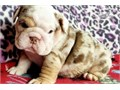 Stunning litter of 7 English bulldog puppiesbig boned chunky and wrinklythese