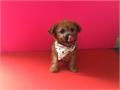 Extremely Rare caramel color malitjpoo boy ready to go home by a licensed breedergorgeous one of