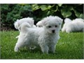 Male and female Maltese puppies available  They are all vet checked  vaccinated and dewormed  hea