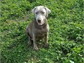 SILVER LAB adult female 2 yrs old 70lbs Shes a beautiful dog but we have decided to breed only Cha