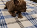Female French bulldog born 020221 will be ready end of March 1st shots and vet