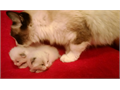 Ragdoll Kitten male Last Ragdoll kittens for another 6 months