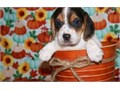 Beagle puppies up for adoption for more info and pics please call or send text to 4355150895 thanks