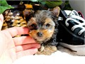 Preston is our absolutely cutest Male Yorkshire Terrier PUPPY Hes AKC Registered vet examined twi