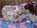 Our cute Labrador has given birth to a litter of 10 beautiful pups They will come KC Registered Ve
