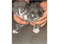 I am looking for forever loving homes for these boys Each of them are potty trainedRussian blue