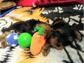 Yorkie Male  Female puppy Paper-trained They are really cute and sweet personality Will be aroun