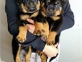 Absolutely adorable rottweiler puppy Sally is cute playful and ready to find