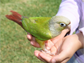 Baby Cinamon Conure 3 Months Old Hand Fed  Hand Raised Tame  Very Friendly That Not Bite At All