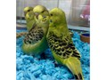 I HAVE A GREEN WITH YELLOW TAME FEMALE ENGLISH BUDGIE YOU CAN HOLD ON YOUR FINGERALSO I HAVE A