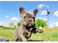 Ciara is our stunning BLUE French Bulldog Female pup available in LA DOB 1-28-17 Cobby short body