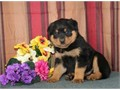 ROTTWEILER PUPPIES AVAILIBLEAMAZING PUPPIES WITH BIG HEAD EXCELLENT BONE AND GREAT TEMPERAMENT 1