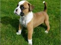 Registered Male And Female ckc Registered Boxer Pups AvailableThese Babies are
