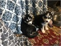 Beautiful puppy black and white and blue eyes 6 weeks old one shot six day deworming ready to nice h